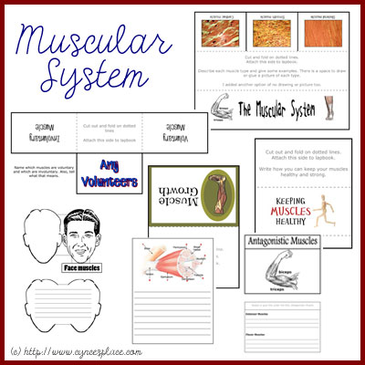 Studying the Muscular System? This free printable lapbook will help them remember what they've learned! :: www.thriftyhomeschoolers.com