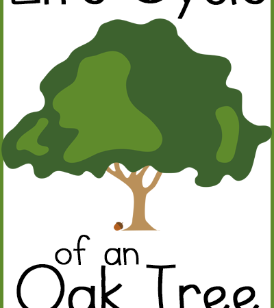 Free Life Cycle of an Oak Tree Copywork