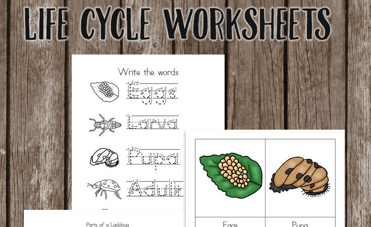 Ladybug Life Cycle Worksheets