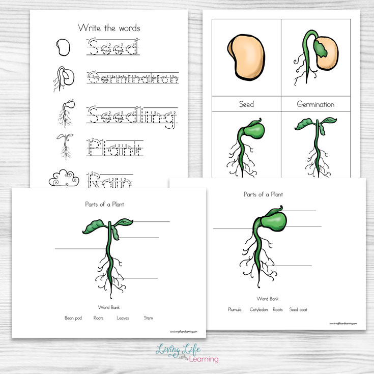 If you have a visual learner and are learning about plant cycles then you are going to love this packet. Inside you will find printable cards that help teach each cycle, traceablewords and a plant to label its various parts.