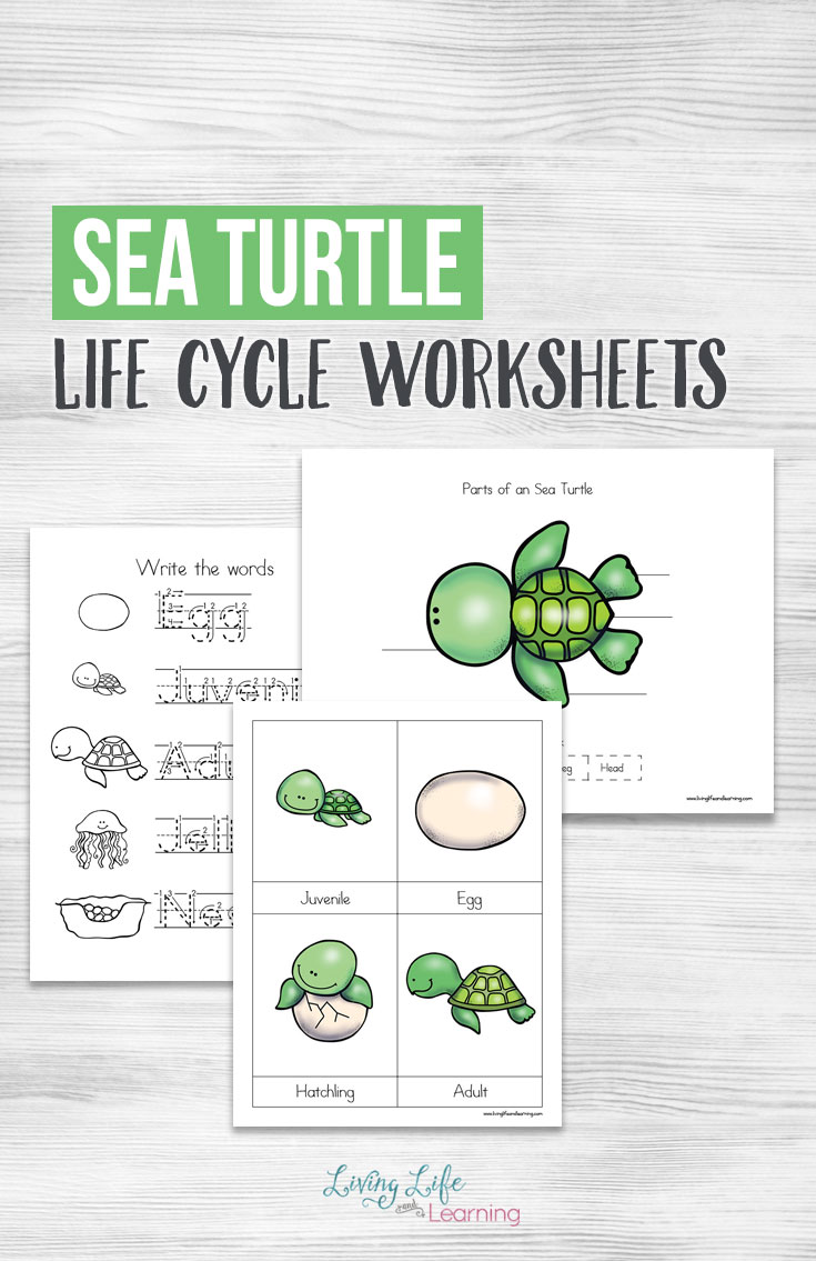 Your children will have a blast learning about sea turtles with these life cycle worksheets! Inside you will find a copy worksheet, a sheet to label, pictures of the life cycle and more.