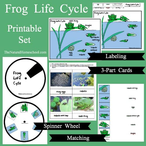 Fun Parts of a Frog and Life Cycle Printable Activities